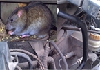 Kinh nghiệm chống chuột cho ôtô trong những ngày giãn cách