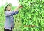"""Bình Phước: Giá """"vàng đen"""" bật tăng, người trồng đã vui trở lại"""