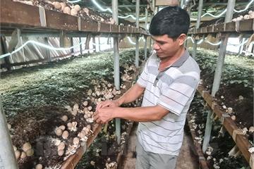 """""""Nhập khẩu"""" kinh nghiệm trồng nấm rơm, anh nông dân ở Hải Dương lãi tiền tỷ mỗi năm"""