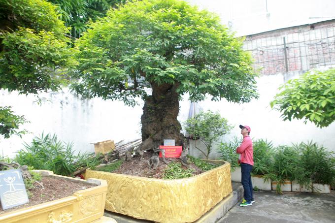 """Bộ sưu tập khế cổ gồm 4 cây được xem là """"có một không hai"""" ở Việt Nam."""