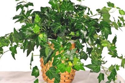 5 cây trồng trong nhà vừa mang phong thủy tốt lại phòng chống bệnh ung thư hiệu quả