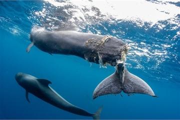 Bức ảnh cá voi mất đuôi khiến người xem nhói lòng: Dù vô tình hay hữu ý, lỗi vẫn là ở con người
