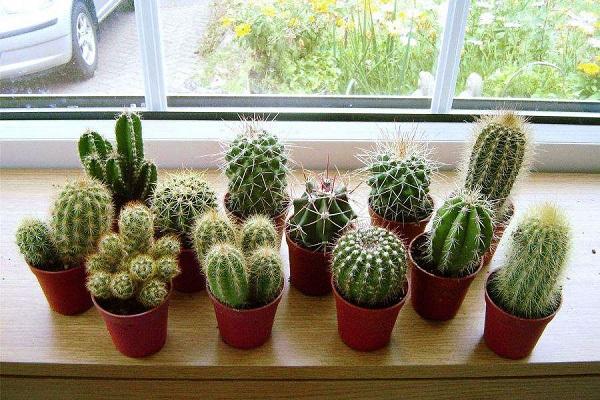 Những loại cây đẹp mấy cũng không trồng trong nhà tránh tiêu tán tài lộc, rước bệnh cho gia đình - Ảnh 1