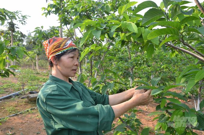 Vợ anh Thanh bên những cây na giống Đài Loan. Ảnh: Dương Đình Tường.