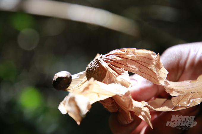 Quả ươi sau khi chín sẽ bám chặt vào một ngọn lá, mỗi khi gió thổi lại tỏa bay đi khắp nơi. Ảnh: L.K.