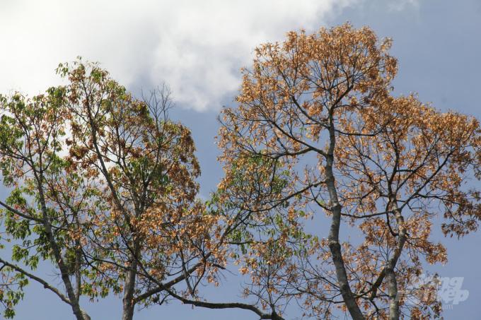 Mùa này, những cây ươi ở miền núi Quảng Nam quả đã chín đỏ rực. Ảnh: L.K.