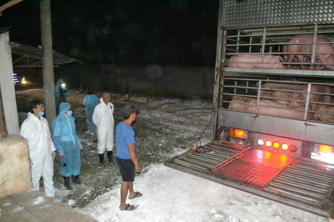 Thực hiện các thủ tục trước khi đưa lợn vào chuồng. Ảnh: Trần Trung.