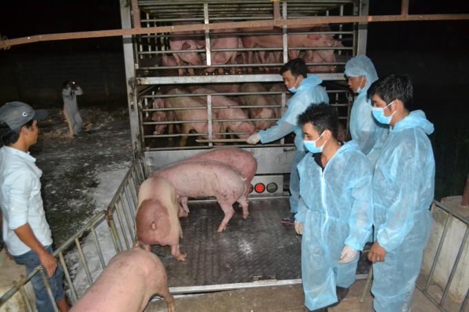 Lợn được đưa xuống xe để vào chuồng cách ly. Ảnh: Trần Trung.