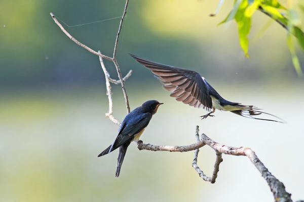 Trang phục bằng vải có hình những con én là một phong tục lâu đời vẫn còn duy trì ở một số vùng thuộc tỉnh Thiểm Tây. Mỗi khi mùa xuân đến, mọi người vẫn thích đeo chiếc yếm bằng lụa nhiều màu sắc trên ngực có thêu hình con én. Tục lệ này được cho bắt nguồn từ thời nhà Đường (618-907), bởi chim én là báo hiệu của mùa xuân và là biểu tượng của sự thịnh vượng và hạnh phúc.