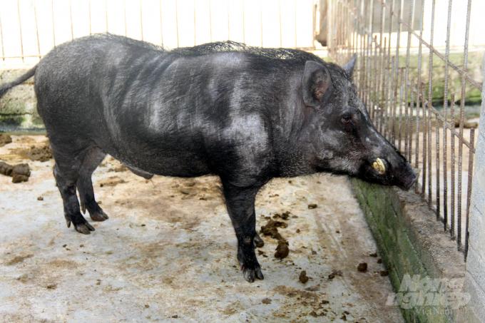 Theo anh Huân, điều quan trọng khi nuôi lợn rừng là chọn được đực giống tốt, tránh để lợn giao phối cận huyết. Vì vậy, trong trại nuôi của anh có đến 5 con lợn đực, đánh đánh số để tránh hiện tượng giao phối cận huyết. Ảnh: Việt Khánh.