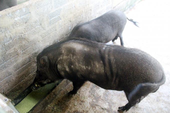 Lợn ăn bằng nguồn thức ăn này có khả năng chống chịu cao với dịch bệnh và nguồn phân thải ra giảm được mùi hôi thối. Ảnh: Việt Khánh.
