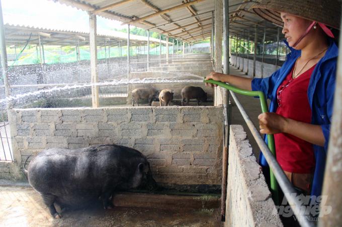Ngoài việc rải vôi bột, phun tiêu độc khử trùng định kỳ, vào mùa nắng, lợn thường xuyên được tắm mát. Ảnh: Việt Khánh.