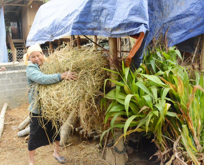 Người dân dự trữ thức ăn cho trâu bò mùa đông. Ảnh: Thái Sinh.