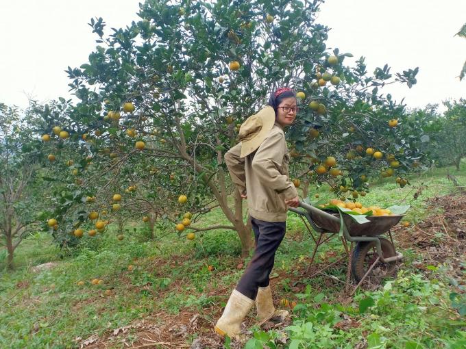 Trần Thị Tuyến thu hoạch cam trong vườn nhà. Ảnh: Trần Thị Tuyến.