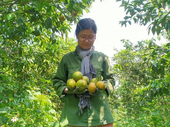 Trái ngọt từ vườn cam, quýt không sử dụng hóa chất. Ảnh: Trần Thị Tuyến.