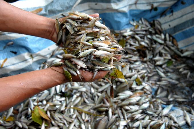 Hiện tại ở các tỉnh đầu nguồn như An Giang, Đồng Tháp chưa xuất hiện cá linh non bán ở chợ. Ảnh: Lê Hoàng Vũ.