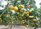 Dien Pomelo – the meaningful valuable gift for Tet holiday
