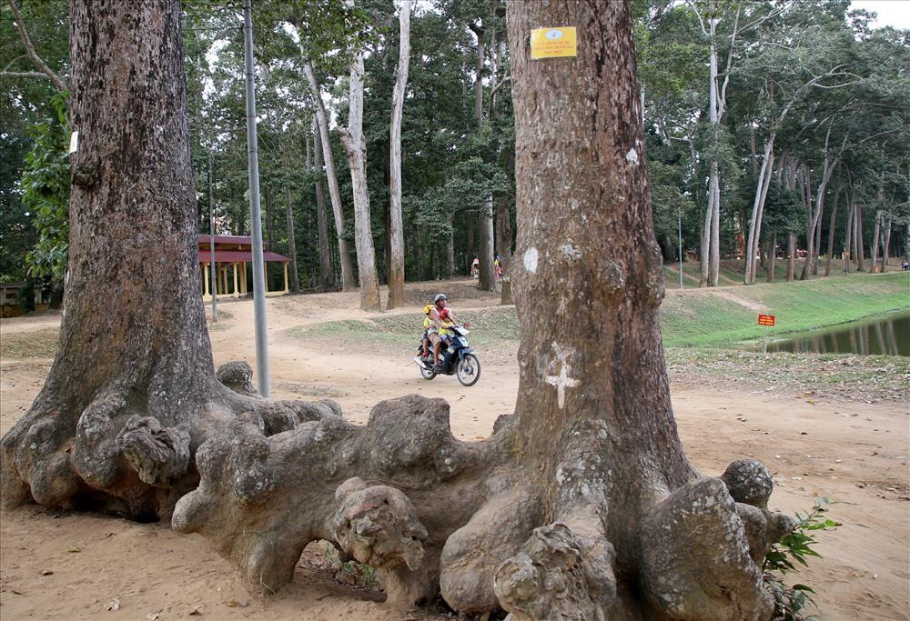 Rễ của các cây cổ thụ ở ao Bà Om trồi lên mặt đất có hình thù kỳ dị. Ảnh: Tr.L.
