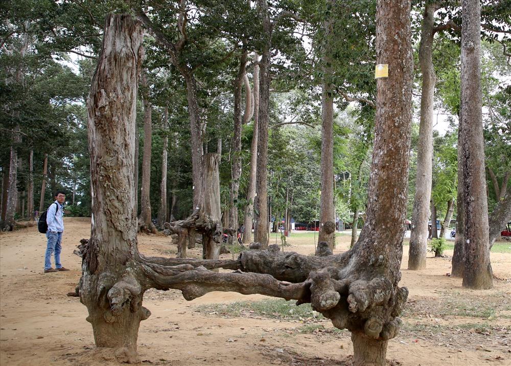 Một số cây cổ thụ bị suy kiệt, chết dần. Ảnh: H.T.