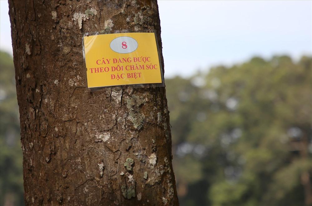 Để cứu các cây cổ thụ, TP.Trà Vinh cho đánh số thứ tự từng cây, và đưa vào diện chăm sóc đặc biệt với những cây bị suy kiệt. Ảnh: Tr.L.