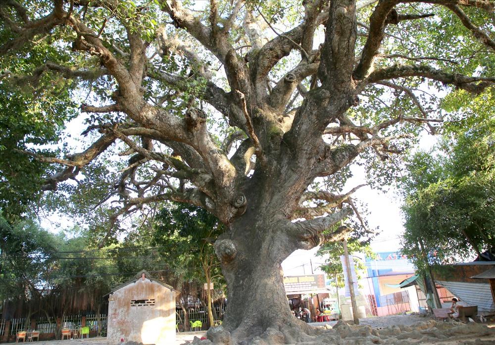 Cây dầu cổ thụ được đồn đoán hơn 800 năm tuổi, có tán rộng như cây dù khổng lồ nên người dân ở Trà Vinh gọi là cây dầu dù. Ảnh: H.T.
