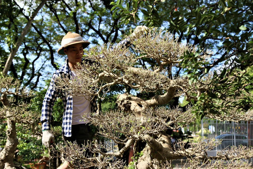 Một cây sanh khác cũng có vẻ ngoài rất đẹp và có cái tên khá hay ''bạc phong hồi đầu'' cũng đang được ông Sanh rao bán.