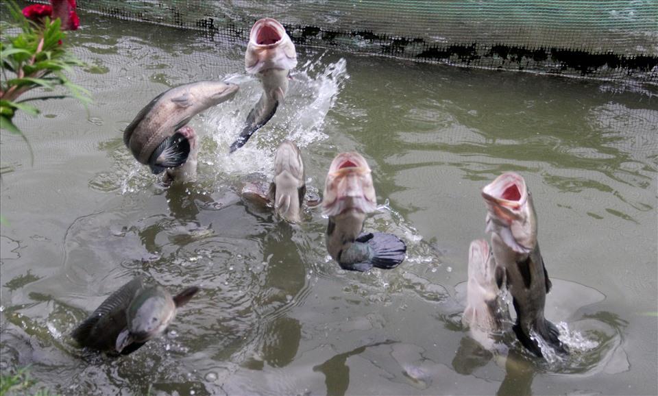"""Trong khu vườn của mình, anh Tâm huấn luyện những con cá để biểu diễn """"cá lóc bay"""" phục vụ khách du lịch. Khi cá lớn, nặng không còn khả năng bay được, anh mang ra sông Hậu phóng sinh, tái tạo nguồn cá chứ không ăn hay đem bán."""