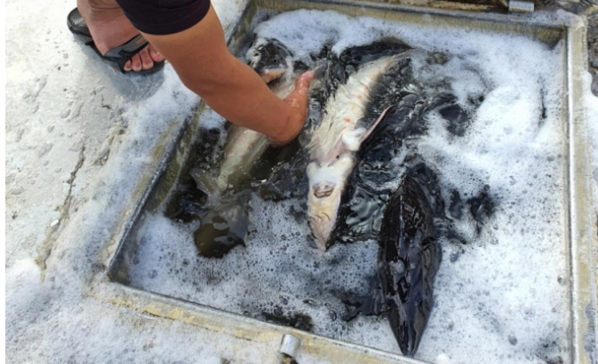 có 08/11 mẫu cá tầm thương phẩm được xác định là nhập lậu vào Việt Nam