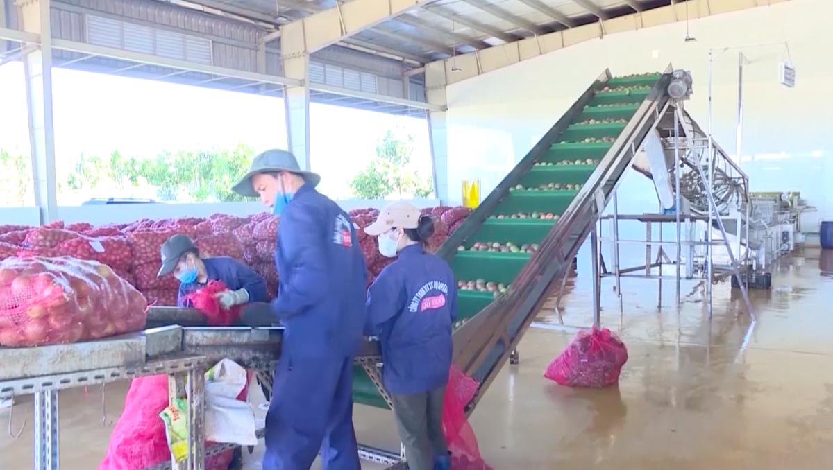 Tại tỉnh Gia Lai có 2 nhà máy chế biến nên chanh dây được tiêu thụ thuận lợi.