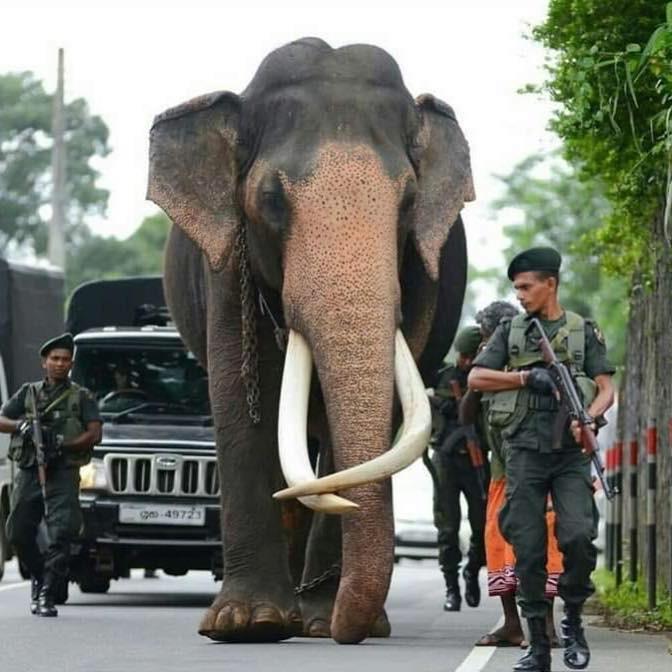 Voi được bảo vệ hộ tống trên đường đi dự lễ hội - Ảnh 2.