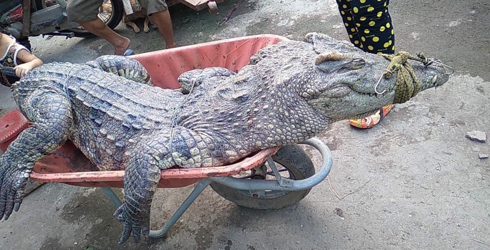 Ớn lạnh người dân bắt được nhiều cá sấu ở Bình Chánh - Ảnh 2.
