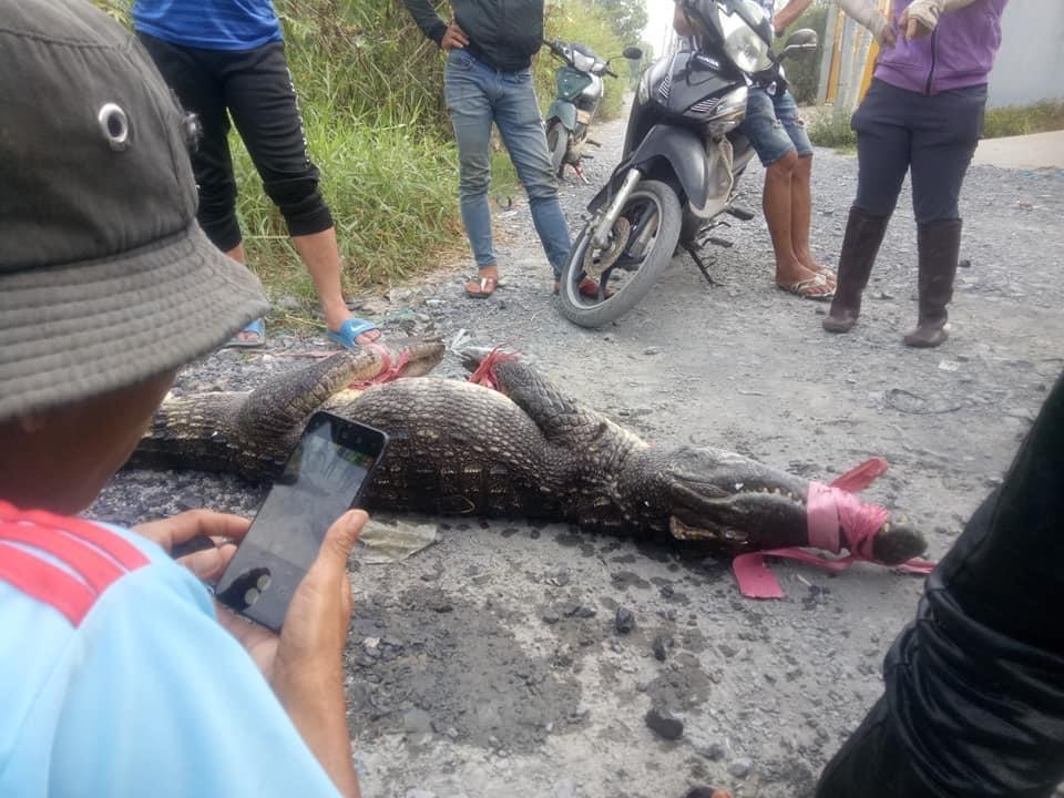 Ớn lạnh người dân bắt được nhiều cá sấu ở Bình Chánh - Ảnh 3.