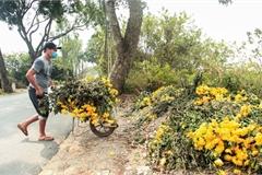 Ruộng hoa khô héo vì không bán được, dân trồng hoa 'gạt nước mắt' cắt bỏ