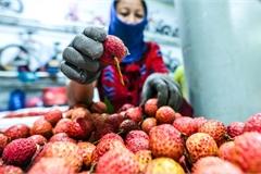 Xuyên đêm đóng gói vải đưa sang Trung Quốc tiêu thụ