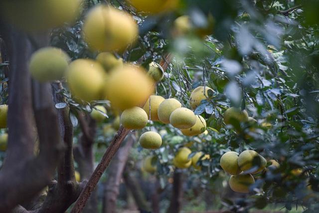 Mục sở thị vườn bưởi Diễn được mùa, kiếm gần 1 tỷ đồng mỗi năm