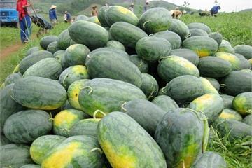 Nghệ An: Nhiều loại nông sản nằm ruộng chờ người mua, giá rẻ như cho