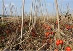 Hàng tấn cà chua ế 'nằm ruộng', nông dân Nghệ An hái về cho gia súc ăn