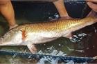 Sự thật về sủ vàng - loài cá quý hàng tỷ đồng ở Việt Nam