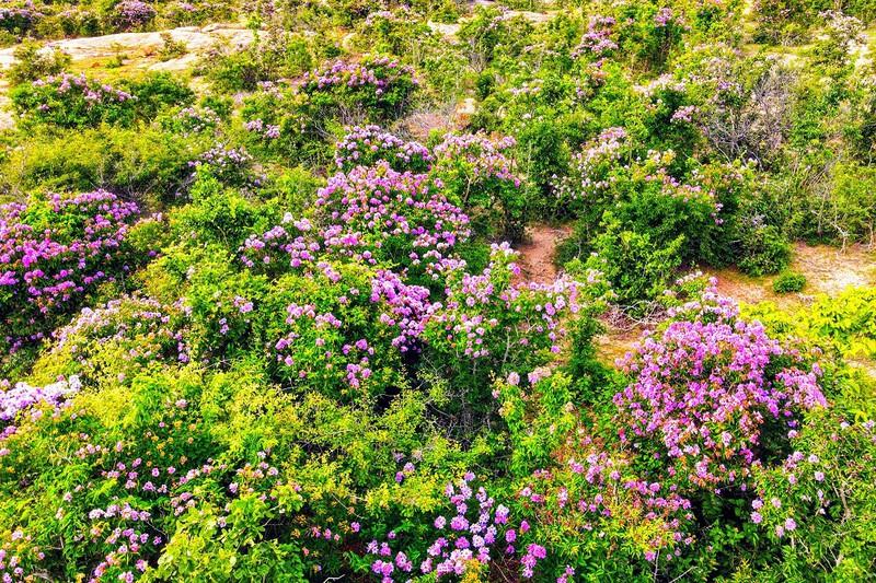 Tháng 5 tím ngát miền bằng lăng Phước Trung, Ninh Thuận - ảnh 3