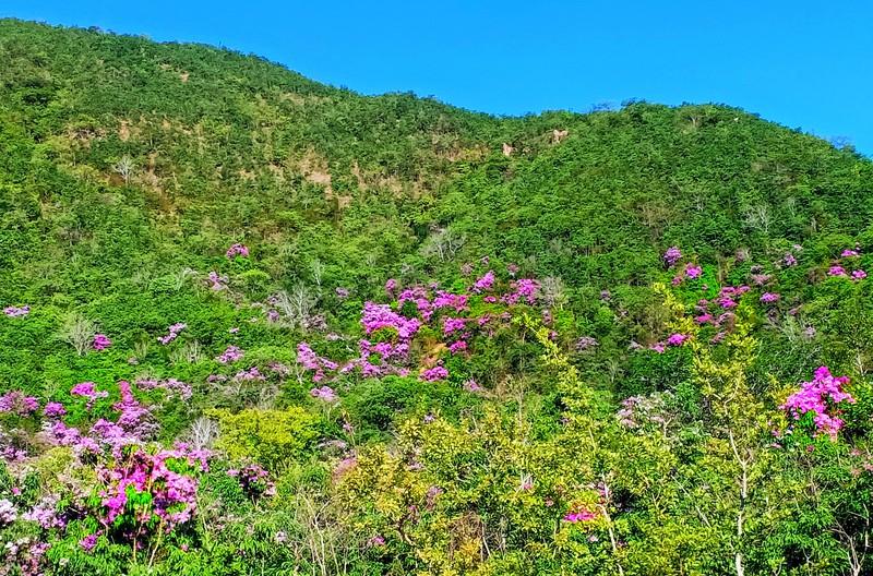 Tháng 5 tím ngát miền bằng lăng Phước Trung, Ninh Thuận - ảnh 6