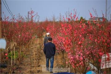 Đào bung nở, làng Nhật Tân nghẽn lối vào ngày cận Tết