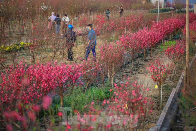 Đào bung nở, làng Nhật Tân nghẽn lối vào ngày cận Tết - ảnh 1