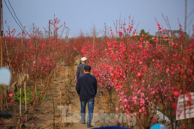 Đào bung nở, làng Nhật Tân nghẽn lối vào ngày cận Tết - ảnh 2