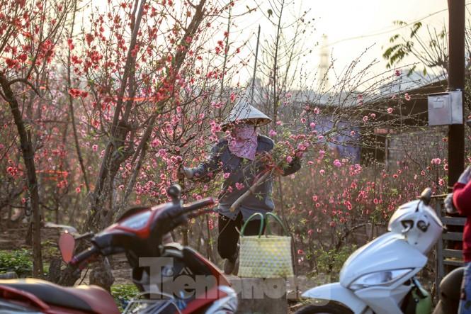 Đào bung nở, làng Nhật Tân nghẽn lối vào ngày cận Tết - ảnh 4