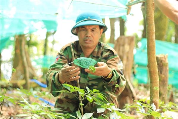 Kỳ lạ vườn sâm quý giúp giữ rừng ở Kon Tum