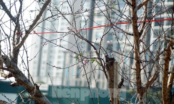 Dân buôn giới thiệu đào cổ thụ trồng ở Sơn La giá hơn 30 triệu đồng - ảnh 10