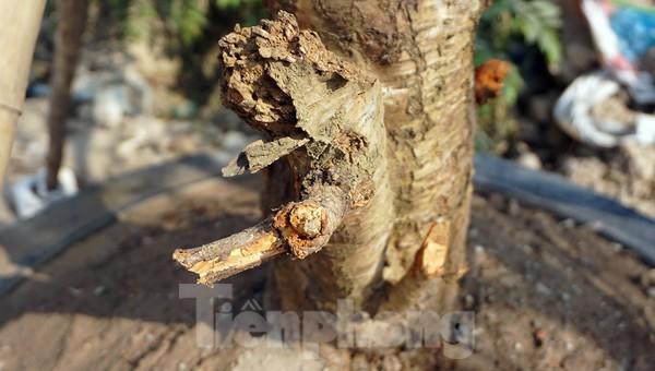 Dân buôn giới thiệu đào cổ thụ trồng ở Sơn La giá hơn 30 triệu đồng - ảnh 11