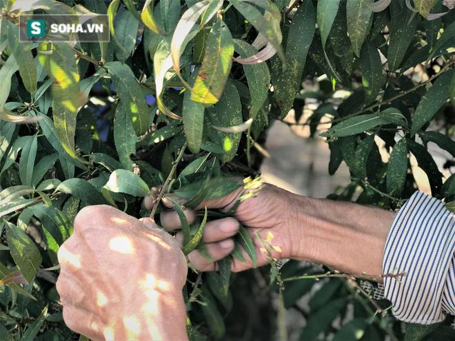 Vặt lá đào thuê, kiếm hơn chục triệu mỗi tháng - Ảnh 10.