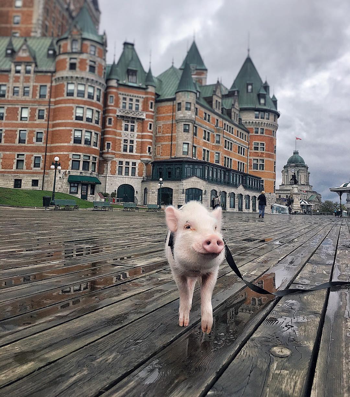 Cảm giác ghen tị là khi bạn phải đi làm vào thứ 2 còn chú lợn này lại được du lịch vòng quanh thế giới, đã vậy còn có hẳn 100k người theo dõi trên MXH - Ảnh 1.