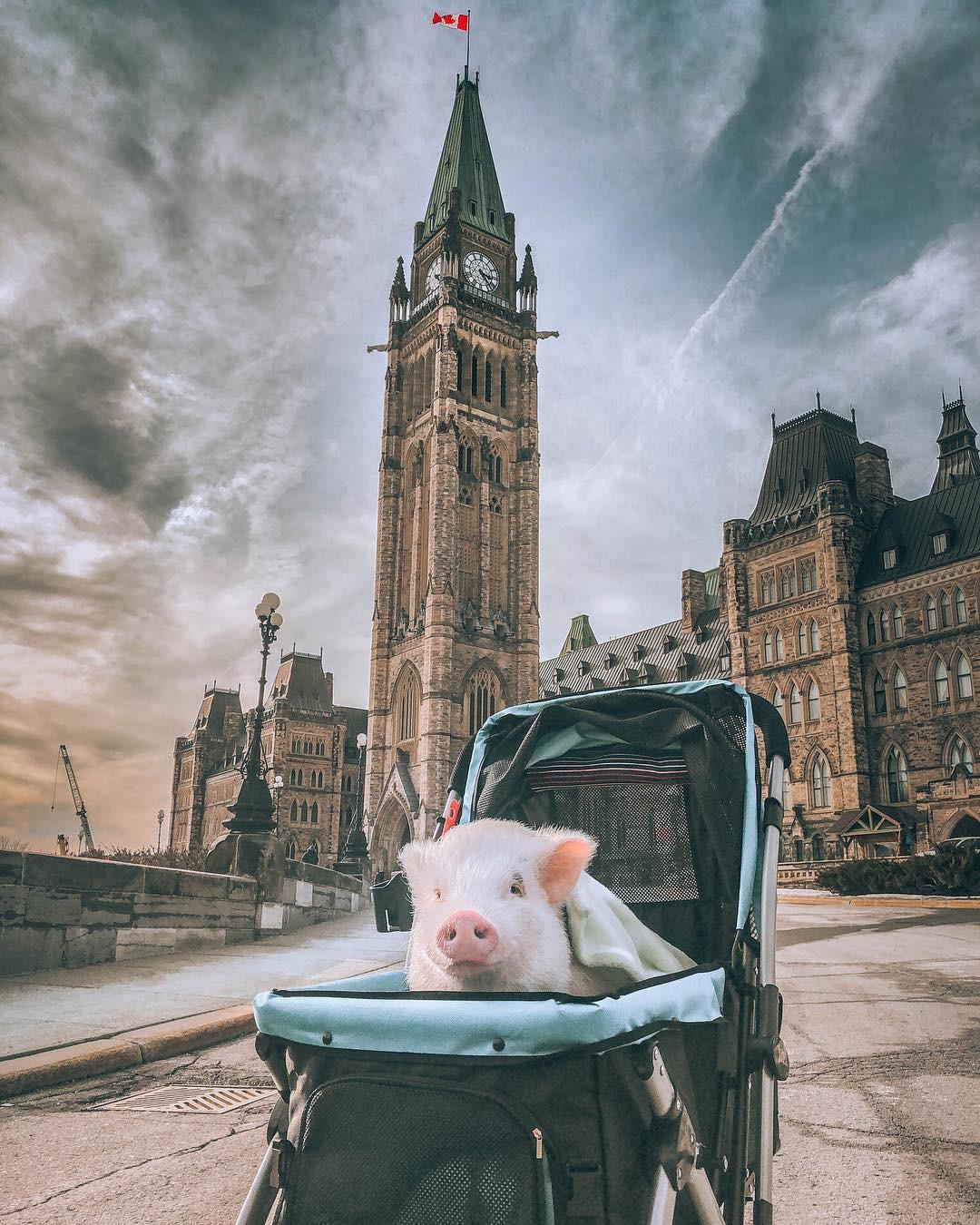 Cảm giác ghen tị là khi bạn phải đi làm vào thứ 2 còn chú lợn này lại được du lịch vòng quanh thế giới, đã vậy còn có hẳn 100k người theo dõi trên MXH - Ảnh 11.